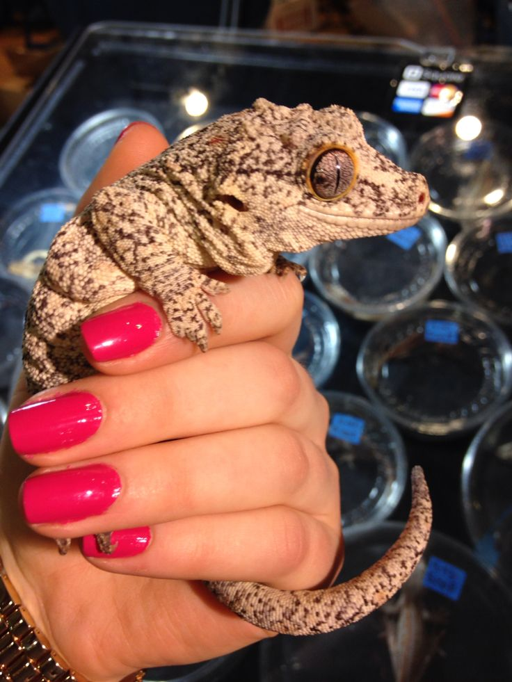 GARGOYLE GECKOS ARE SO CUTE LOOK AT HER NOSE AND THOSE CHUB ROLLS