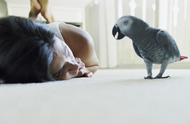 African Grey Parrots as Pets - Species Profile extremely smart, BIG vocabulary!