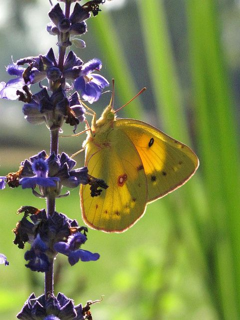 butterfly on sage