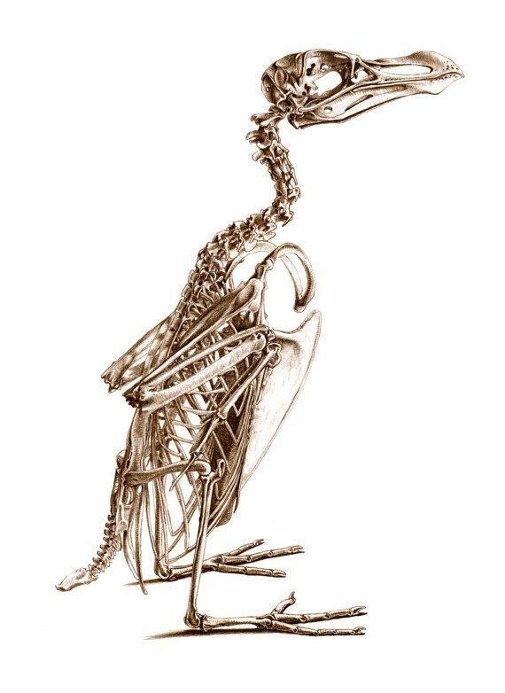 Skeleton of a Razorbill. Signed, limited edition giclee print from the bestselling book 'The Unfeathered Bird' by Katrina van Grouw
