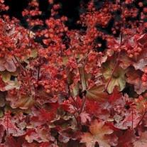 Perennial : Plant View - Campanula punctata Cherry Bells