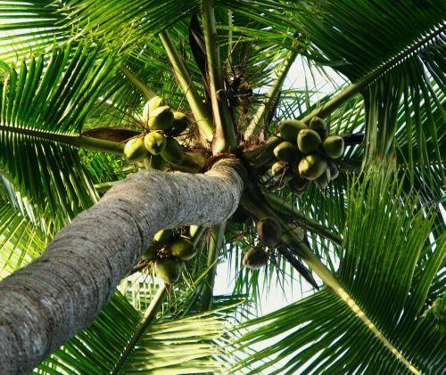 Uleiul de nucă de cocos este unul dintre cele mai sanatoase alimente de pe planeta!Uleiul de nucă de cocos conține acid lauric care distruge agentii patogeni
