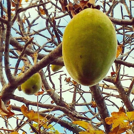 Baobab nut, Mt Ccot-tha Botanical Gardens. Copyright wendy bennett 2015