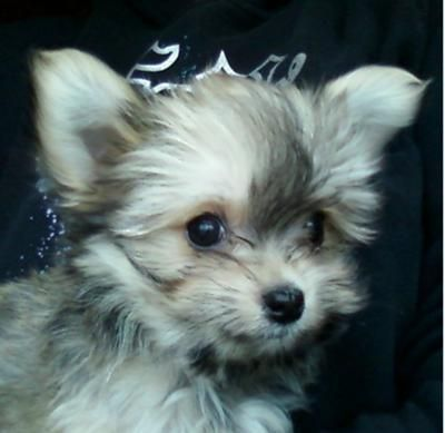 Learn all about the Maltese Chihuahua mix or Malchi. Find out what real Malchi dog owners have to say and view adorable Chihuahua Maltese mix pictures.