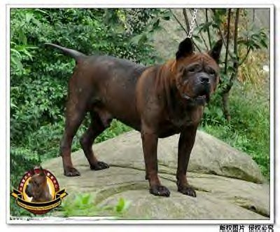 Best Chinese Chongquin Dog Images On Pinterest Chongqing - 29 cutest dog photos existence