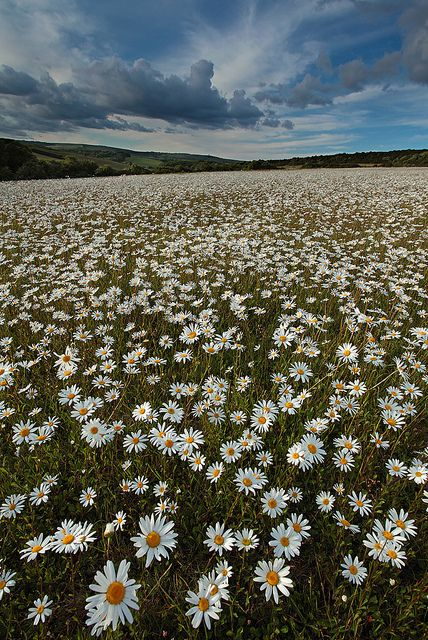 Oxeye Daisies, Dorset, England. I want to see all the daises! :) They are my favourite.