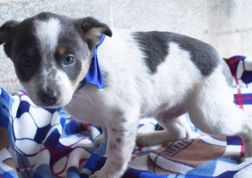 Australian Stumpy Tail Cattle Dog Jack Rat Terrier Mix Puppy For Sale In Ephrata Pa Adn 64070 On Puppyfinder Com Rat Terrier Mix Puppies For Sale Cattle Dog