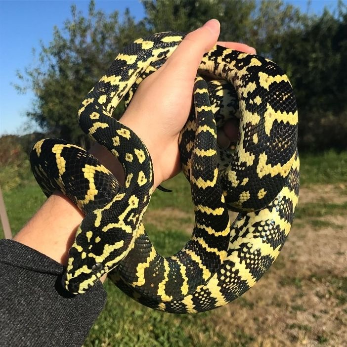 Snake Heart On Instagram My Lovely Jungle Carpet Python Ivy Carpet Pythons Are An Intermediate Snake To Keep Just Because They Can Pet Snake Python Snake