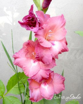 Gladiolus Flower Photography Pink Flowers Photo by CatsEyeStudio, $15.00