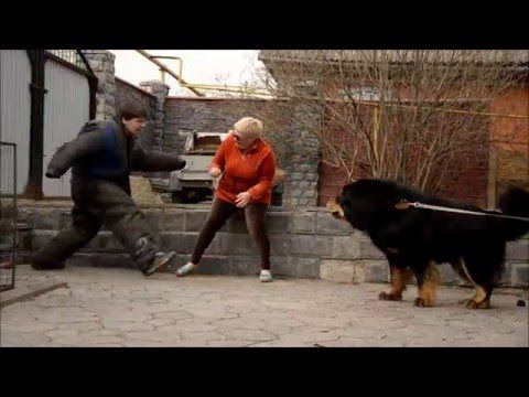 10 апреля Нижний Новгород Тибетский мастиф Рай проверка на защиту хозяйки - YouTube