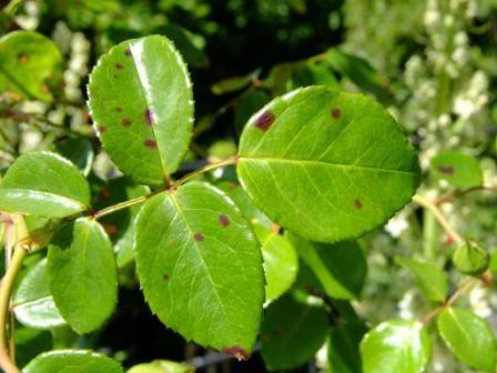 Knoblauchtee gegen Rosenrost