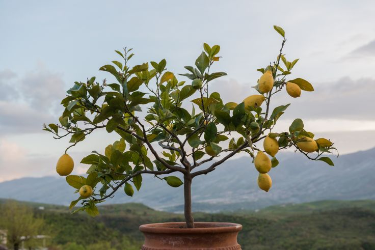 Lemon tree, Albania http://www.kensingtontours.com/