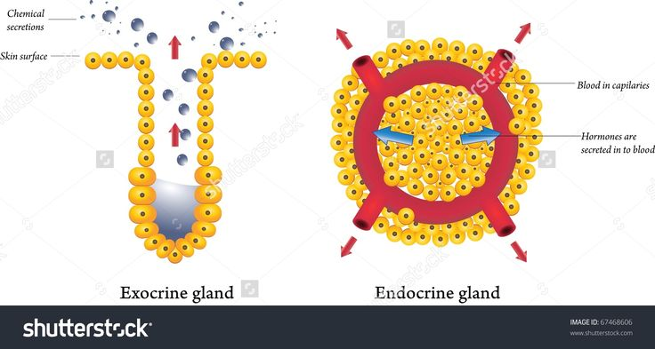 There are two types of glands: endocrine and exocrine glands. Exocrine glands have ducts that carry the glandular secretion onto a bodily surface. Endocrine glads release hormones into the blood stream via diffusion. They do not have ducts like exocrine glands do.