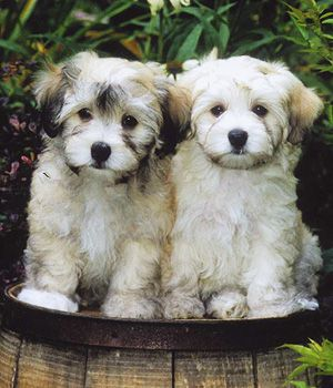 Havanese breed info,Pictures,Characteristics,Hypoallergenic:Yes