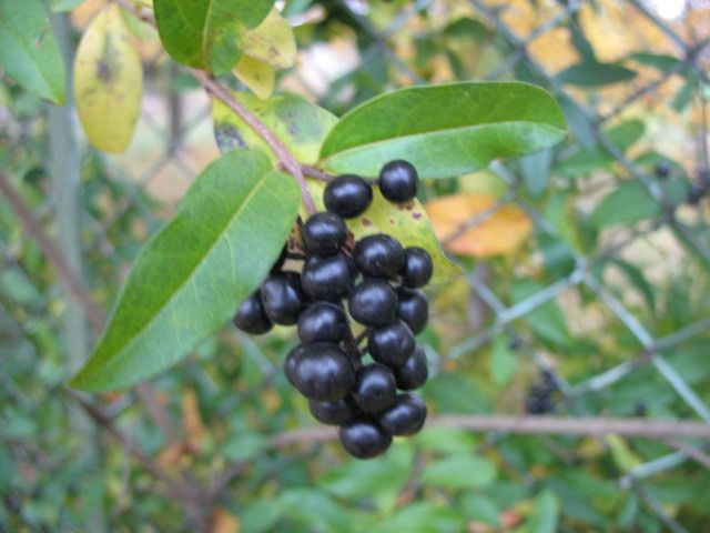 Ligustrum vulgare Wild privet 30 seeds