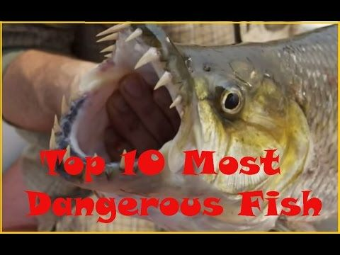 Top 10 Most Dangerous Fish in the World ||