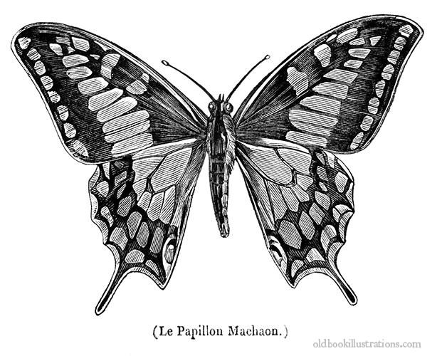 vintage, free digi image ,oldworld swallowtail