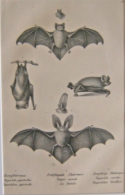 Zwergfledermaus, Fruhfliegende Fledermaus, Langohrige Fledermaus, bat species illustration