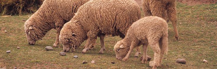 WOLLE AUS PERU 100%  Unsere Wolle stammt aus den Anden in Südamerika. Wir gewinnen sie von einer Rasse von gekreuzten Schafen (Corriedale und Merino), die in einer Höhe von mehr als 2000 m über dem Meeresspiegel gezüchtet wird. https://www.weareknitters.de/die-vorteile-der-wak-wolle