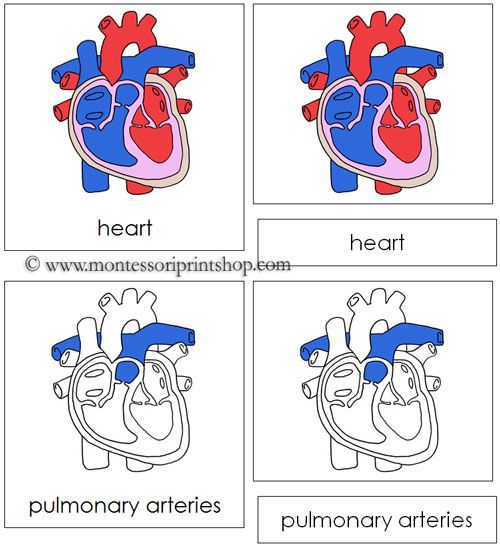 Human Heart Nomenclature Cards - 23 parts of the human heart