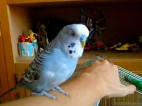 Budgie the R2-D2 Bird is a Classic!