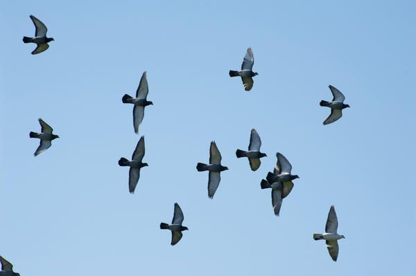 Flying flock of pigeons shot from a low angle