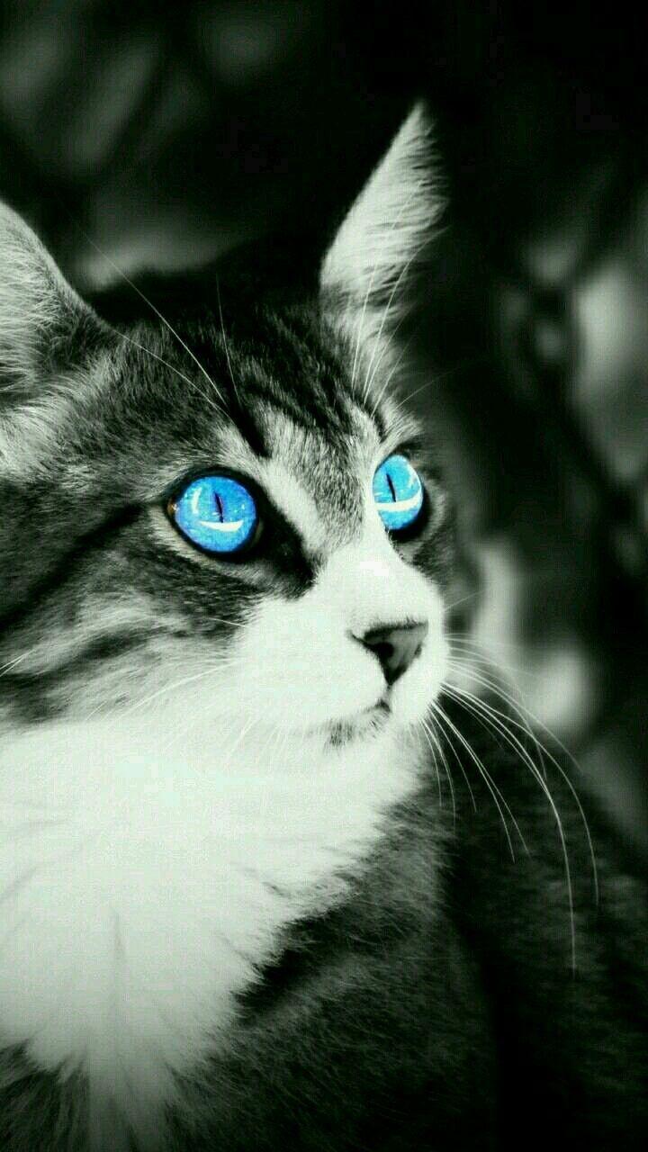 Eyes Chat Noir Et Blanc Chats Blancs Fond D Ecran Chat