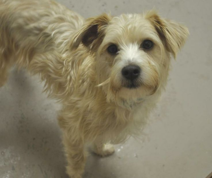 Tiny - Schnauzer/Poodle mix - 1 yr old - Female - Fluffy Dog Rescue - Hartland, WI. - http://rescue.fluffydog.net/ - https://www.facebook.com/pages/Fluffy-Dog-Wellness-Rescue/54101026353 - http://www.petfinder.com/petdetail/28367578/