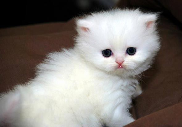 If I had a white kitty like this, I'd put her in my purse and take her everywhere. Yes, I'd be one of THOSE people. See more photos of little Diamond at www.goodmorningkitten.com: Teacup Persian Kittens, Kitty Cat, Teacup Cat, Crazy Pet, Animal Friends, Kittens I, Cat Personalized, Photo, Persian Cat