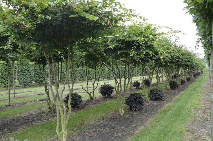 Carpinus betulus | Van Roessel Vormbomen
