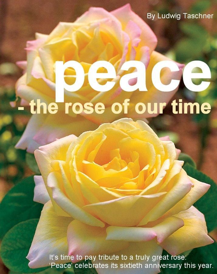 Wonderful story about a beautiful rose that is now approaching the age of 70.  The Peace Rose was my late Grandmother Flora's favorite of all her roses, and this article explains why it is a very special rose indeed!: Amazing Rose, Yellow Rose, Celebrity Peace, Mom Pass, Peace Rose, Favorite Rose A, Gardens Rose, Beautiful Rose, Extraordinari Rose
