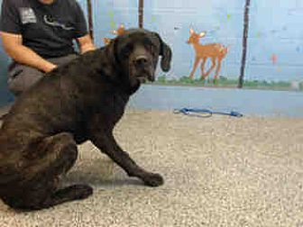 Mastiff/Great Dane Mix Dog for adoption in San Bernardino, California - URGENT ON 10/6 San Bernardino