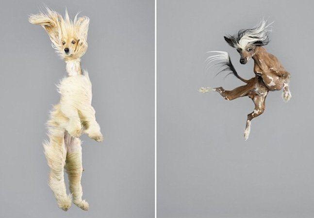"""Pelos ao vento, cara de surpresa e patas perdidas no ar. Assim é a série Freestyle, da fotógrafa Julia Christe, em que cãezinhos dos mais diversos tamanhos e tipos aparecem em pleno voo – ou seria queda? A divertida coleção de imagens foi pensada após uma farmácia pedir a ela a foto de um cão """"no ar"""" para um folheto. A fotógrafa gostou tanto do resultado e da brincadeira que decidiu chamar alguns cãezinhos para pular em seu estúdio, em Berlim. No dia do ensaio, cerca de 100 deles apareceram…"""