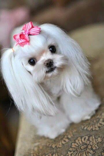 Great Hair Bows Bow Adorable Dog - a495f14e1f473df7b5923bfe31e2b758--maltese-puppies-cute-puppies  Photograph_62897  .jpg