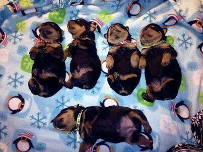 (KO) Newborn Rottweilers. Too cute for words!