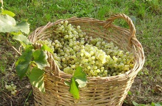 FESTA DI VENDEMMIA CON GLI ASINI | Strada Reale dei vini torinesi