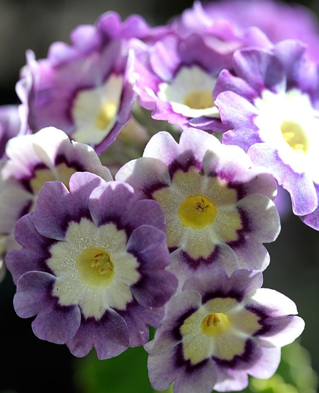 "Primula pubescens 'Exhibition Blue' ""Garden Auricula""the very old (since 1582) favorite ""Garden Auricula"" is a gratifying, long lasting garden plant. Here in the Bay Area, bloom time continues year round if you keep these lovelies dead-headed. This mix includes predominantly purples, but occasionally a few other color surprises, including softer pastel shades & pinks. Tolerates full sun, but prefers shade/semi-shade. 10/16"