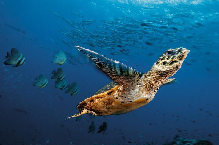 Plongée dans la baie de Kimbe, dans le Triangle de Corail (Papouasie-Nouvelle-Guinée) avec une tortue imbriquée, des platax à longues nageoires et des barracudas à nageoires noires. - National Geographic France