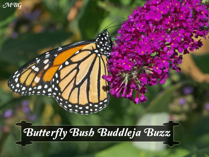 Buddleja buzz is a dwarf butterfly bush variety that comes in a rainbow of vibrant flower colors. It attracts monarchs, more butterflies, hummingbirds, etc.