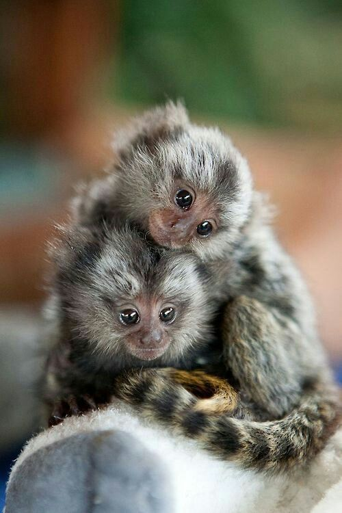 PYGMY MARMOSET.....found in the rainforests of Brazil, Ecuador, Peru and Columbia......one of the smallest primates and the smallest monkey in the world....a body length of 4.75 - 6 inches, a tail of 7 - 9 inches and a weight 3.53 - 4 oz....spend most of their time in the trees and are rarely on the ground....a curled up Pygmy Marmoset fits into a human palm