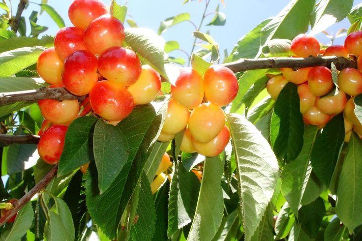 Cherry Tree Seeds ★ RANIER ★ Sweet Golden Cherry with Pink Blush ★ 10 Seeds