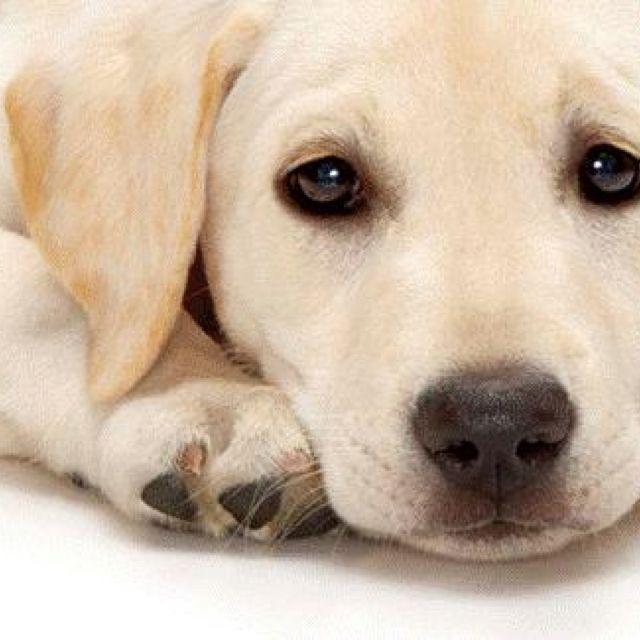 Labrador. Looks just like my Dolly Witten! opawz.com supply pet hair dye,pet hair chalk,pet perfume,pet shampoo,spa....