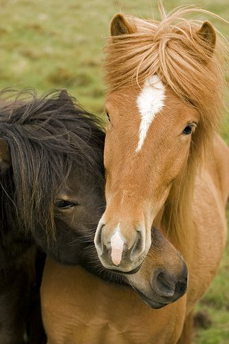 Two Icelandic Horses show their tenderness to each other. Photo by Berglind Karlsdóttir