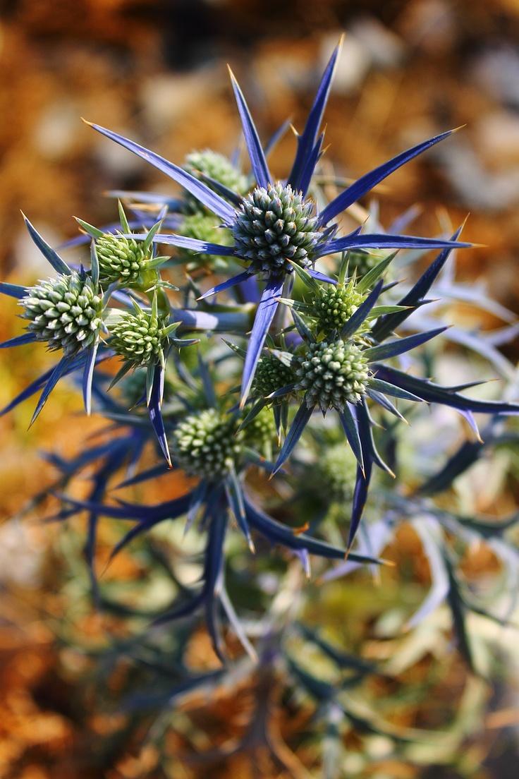 Fiore spinoso