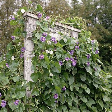 Building a Window Frame TrellisVines Support, Climbers Trellis, Windows Frames, Grape Vines, Cardinals Climbers, Frames Trellises Lov, Gardens, Doors Frames, Old Doors