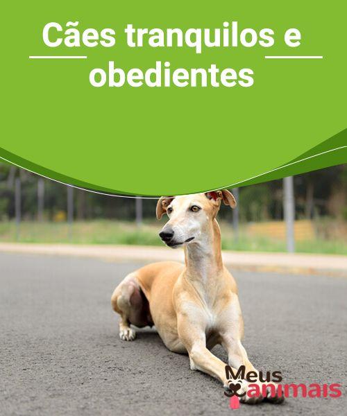 Cães tranquilos e obedientes  Quer saber tudo sobre aqueles #cães #tranquilos e #obedientes? Esse #perfil de animal é ideal para #conviver em espaços pequenos e grandes e também com sua #família.  #ADESTRAMENTO
