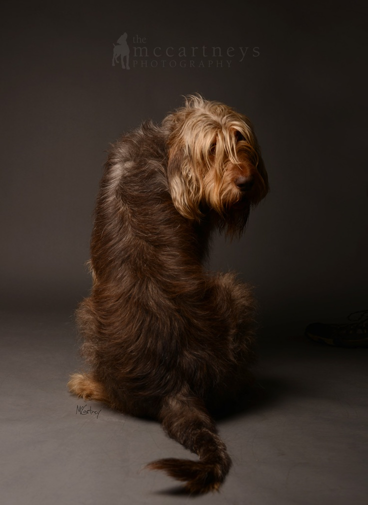 Otterhound Kentuckiana Cluster, Kentuckiana Cluster of Dog Shows, Otterhound Photography, Otterhound, Pictures of Otterhounds