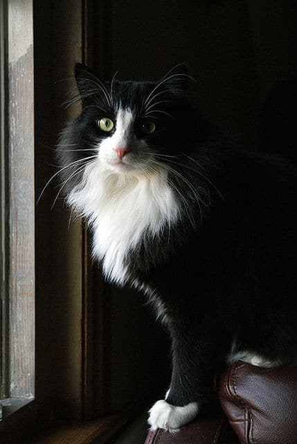 A cat with a black and white pattern fur that resembles a tuxedo is called as a Tuxedo cat. This cat is not a particular breed of cats, but is named as tuxedo cat because of the tux pattern of coat. They look as if they are formally dressed for an occasion and because of this black and white appearance they are loved by cat lovers. The stylish and friendly personality of this particular cat is what attracts the attention of cat lovers.
