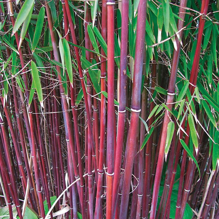Umbrella Bamboo 'Asian Wonder' New in 2015 Umbrella Bamboo are easy to grow and quick to fill out, making them a top foliage choice for privacy screening and blocking road noise and traffic pollution. Clump forming Fargesia 'Asian Wonder' is even more of a treat, with ruby red stems and olive green foliage giving it an incredibly tropical appearance. As the canes mature, strip some of the lower foliage away to show off the highly decorative stems. A top architectural plant for adding…