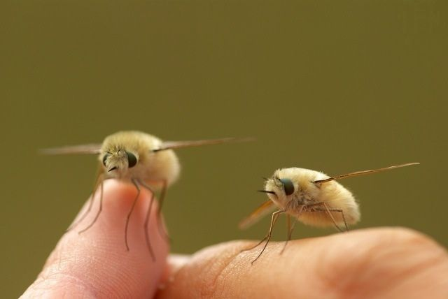 Bombyliidae. The Bombyliidae are bee flies feeding on nectar and pollen. Sooo cute! They look like flying pussy willows!